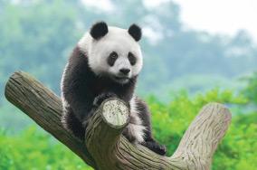 Panda Ambassadors